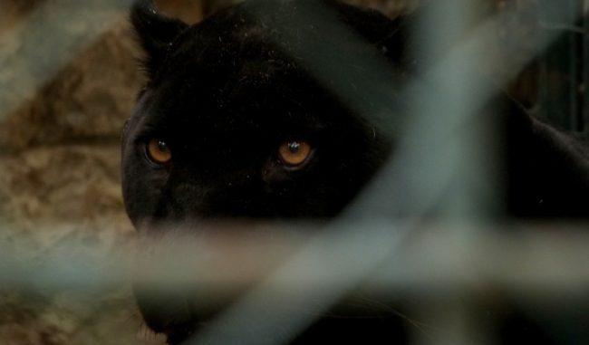 Pantera a San Severo, trovate orme del felino. Pronte gabbie ed ...